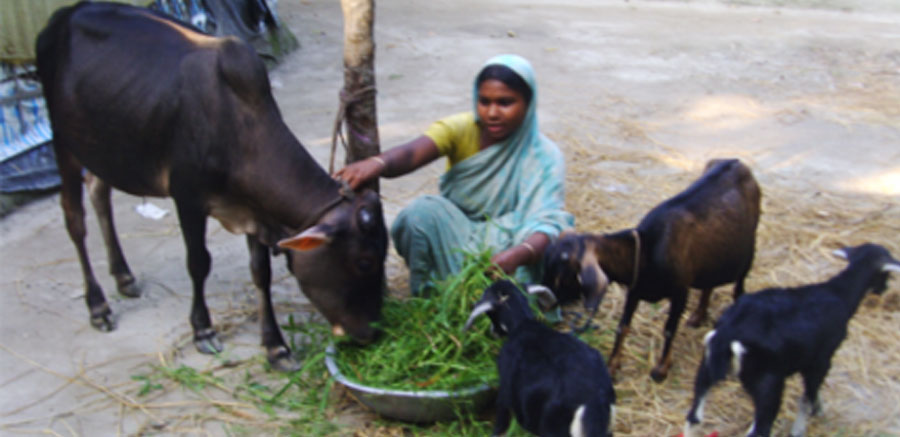 Bangladeshi woman and her goats